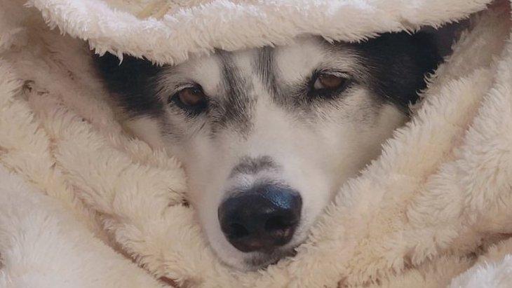 北海道での正しい毛布の使い方を伝授するハスキーさんがSNSで話題!