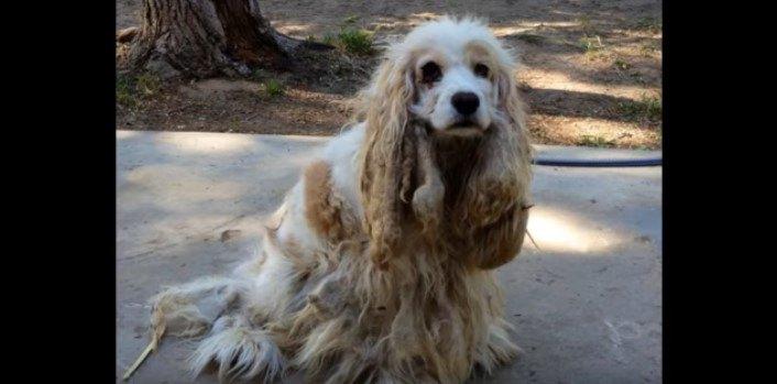 捨てられ被毛がベタベタのフェルト状になった犬の驚きの変貌!