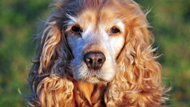 犬の認知症の末期症状2つ