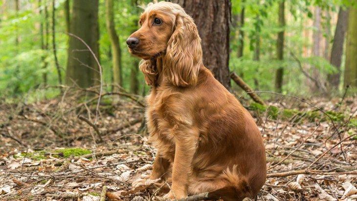 イングリッシュコッカースパニエルの性格や特徴、子犬の値段から歴史まで