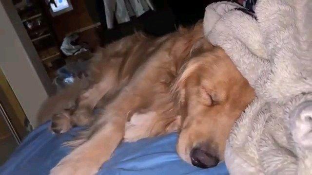 『いたずら開始!』可愛い寝顔で爆眠中のゴールデンレトリバーちゃんは起きるかな?
