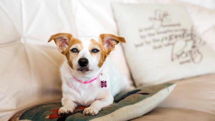 犬の白内障に効くサプリメントとは!その効果とオススメの商品3選