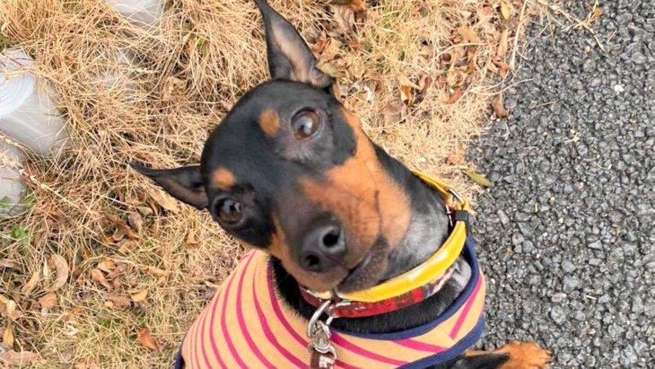奇跡!威嚇と咬みつきで飼い主に見放されたミニピンが福祉施設の看板犬に