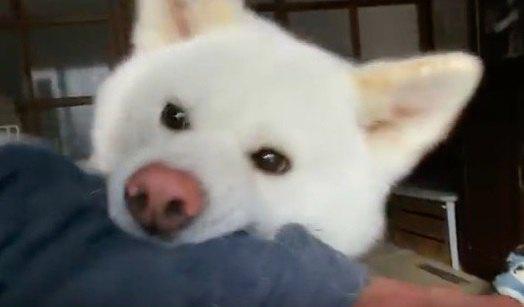 飼い主にちょっかいを出したらやり返された秋田犬