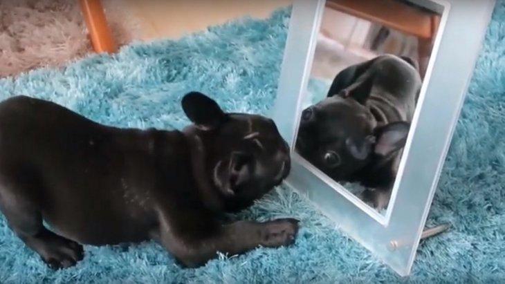 鏡で遊ぶする子犬のフレンチブルドッグ♡不思議そうにはしゃぐ姿に癒される
