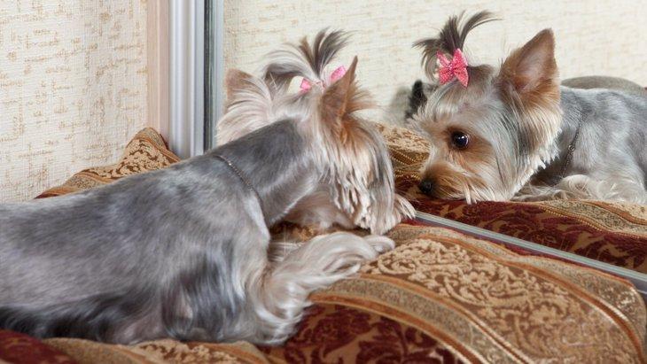 犬は「鏡に映った自分」を理解できる? 吠えたり目を逸らしたりする理由とは?