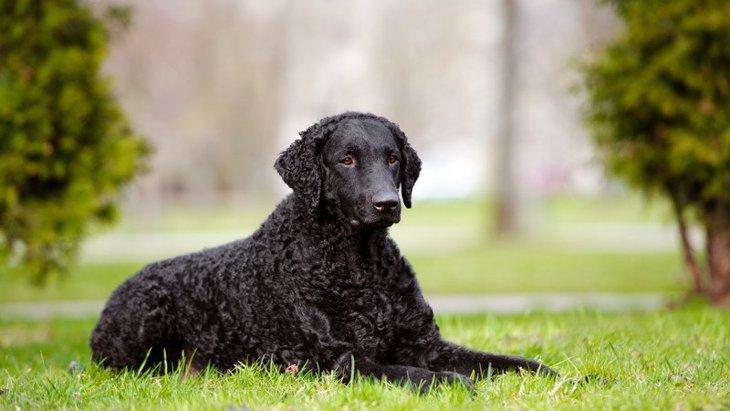 カーリーコーテッドレトリーバーの性格や特徴、値段や飼い方について