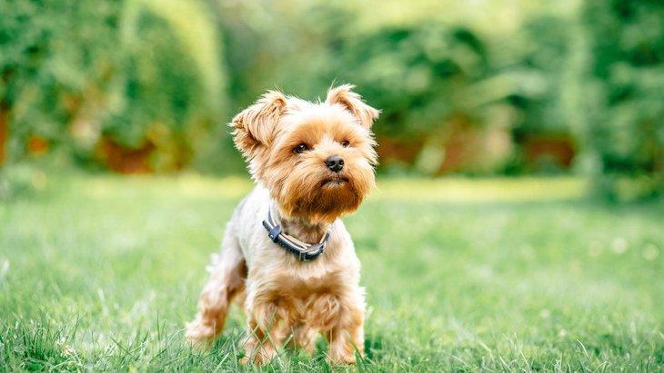 しっぽが短い犬種3選