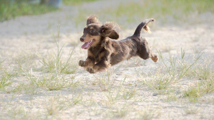足が短い犬種3選!特徴や飼うときの注意点まで