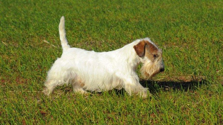 シーリハムテリアの性格と特徴、飼い方や子犬の価格まで