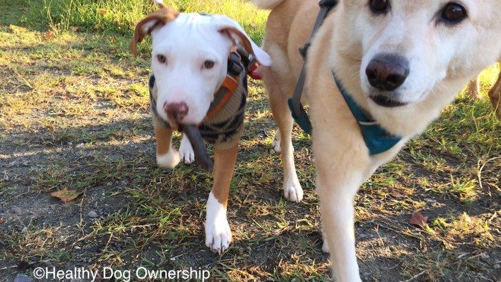 犬の社会化不足と問題行動 2/3:第一社会化期