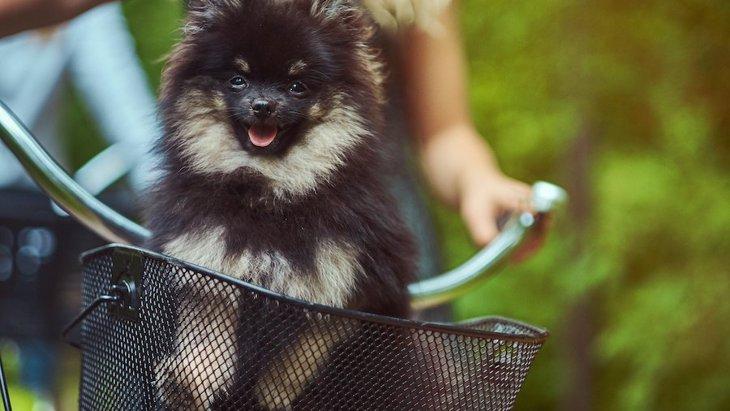 犬を自転車のかごに入れて散歩するのは大丈夫?考えられるリスク4つ