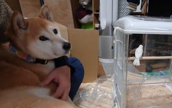 新居を堪能する文鳥と興味津々な柴犬ちゃんの反応がエモい♡