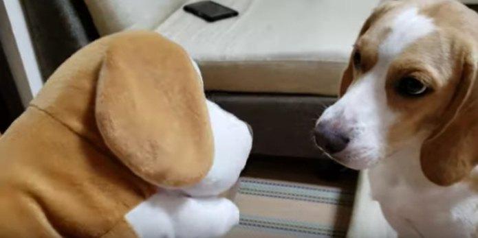 ビーグル犬に変装するビーグル犬?!可愛すぎる姿に癒される♡