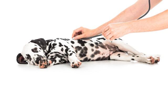 犬のお腹にしこりを見つけたら!良性と悪性の特徴と考えられる病気