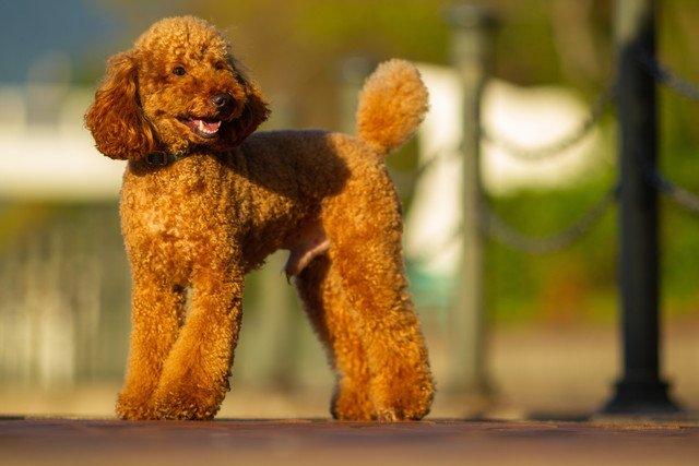 ミディアムプードルの性格と特徴、子犬の価格や飼い方など
