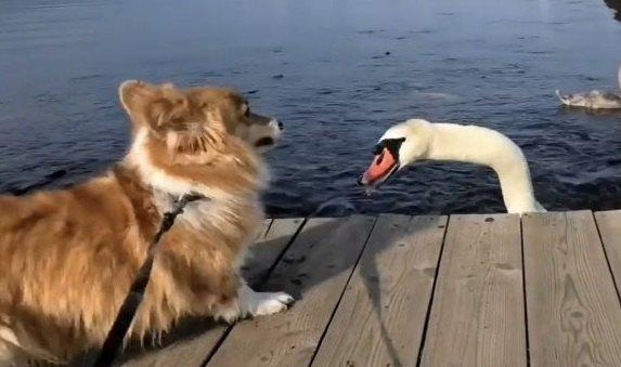 湖で鯉と白鳥さんに挨拶をするコーギー