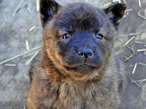甲斐犬について  その性格や特徴、しつけや飼い方など