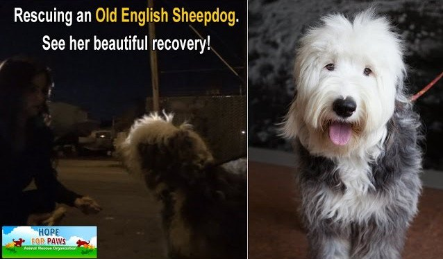 保護したモフモフの大型犬。やっと見つけた飼い主には捨てられましたが…