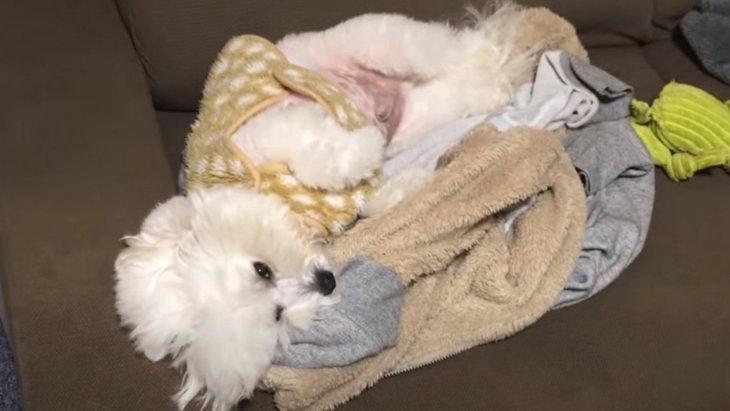 スヤスヤ…♡飼い主の服の上で眠る可愛すぎるふわもこワンコ♡