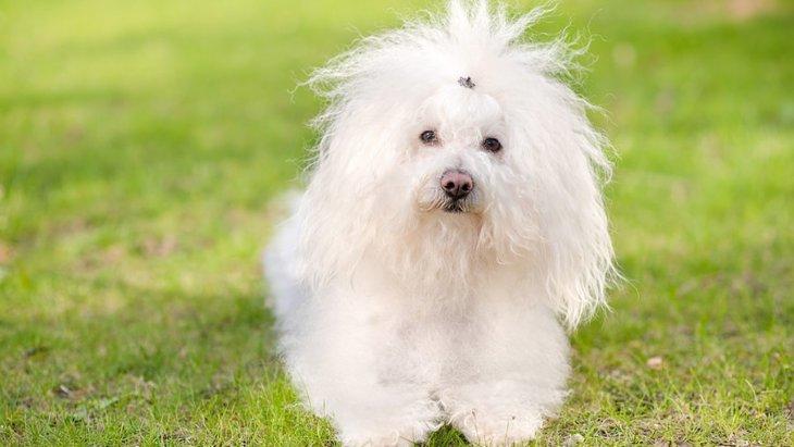 超小型犬3選!それぞれの特徴や飼う時の注意点まで