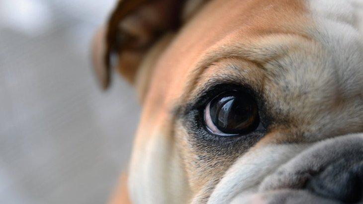犬の目の大きさが左右で違うときに考えられる原因4つ