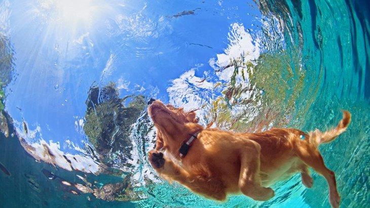 犬はみんな犬かきが出来るのか?プールで水泳する柴犬の動画など