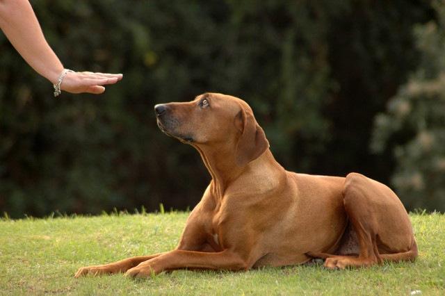 犬に指示を出す時、ジェスチャー付きである方が効果的だという研究結果