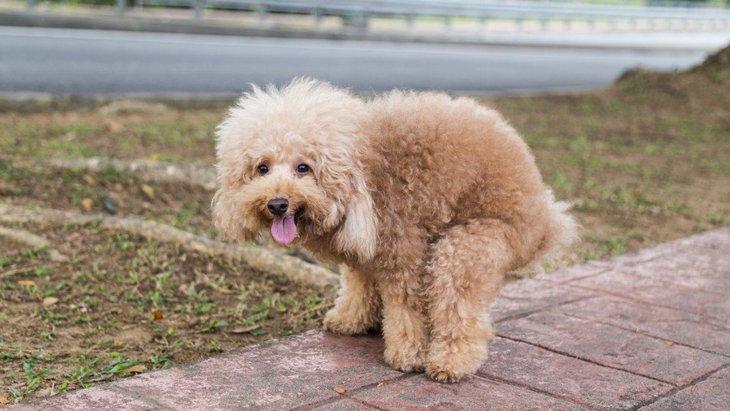 犬がウンチをする時に飼い主を見る心理4選