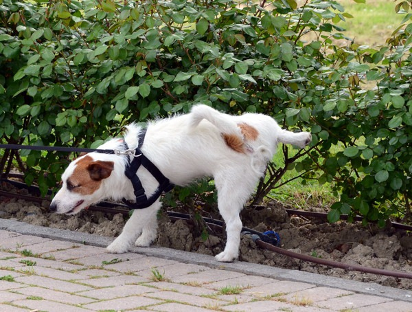 犬の前立腺がんについて 症状や原因、治療と予防法