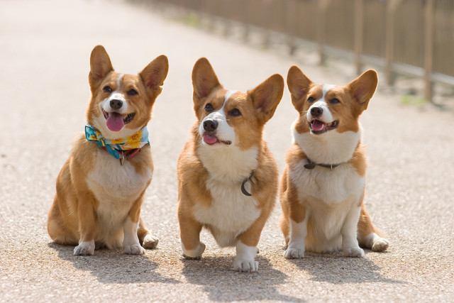 ウェルシュ・コーギー・ペンブロークの犬種情報