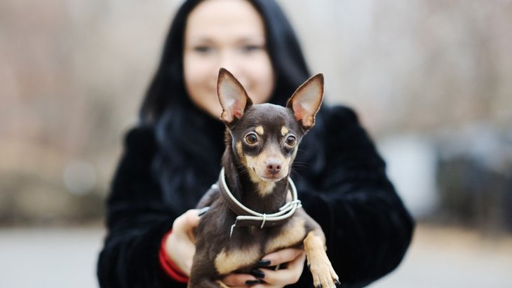 ミニチュアピンシャーの性格や特徴、飼い方から子犬の値段まで