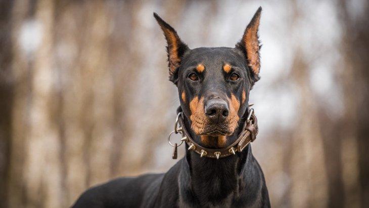 鋭い目つきの犬種4選