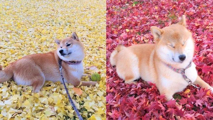 【話題】黄色と赤どっちがお好み?秋ならではの絨毯を満喫する柴犬さん♡
