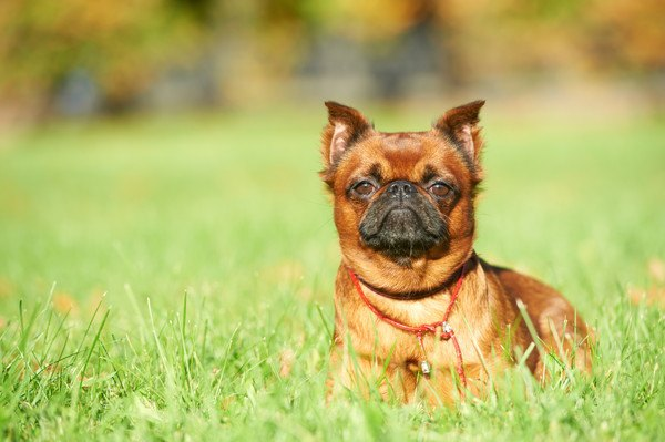 プチブラバンソンってどんな犬?特徴と性格、寿命や価格から歴史まで