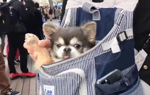 【アイドル犬】行列の中で前足を振りながら歩くチワワが大人気