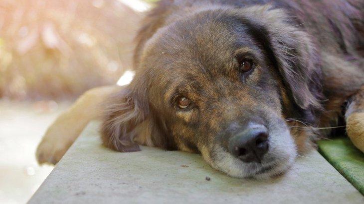 犬の白血病とは 病気の症状や原因、治療法について