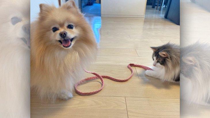 猫さんにリードをひかれるポメさん!?仲良し2匹がSNSで大人気♡