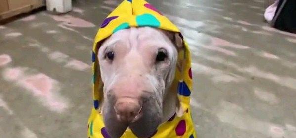 水溜まりヤダ…雨の日にお散歩をするのが嫌いなワンコ