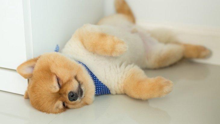 もはや野生など忘れてしまったwwちょっと可笑しい犬の寝相まとめ