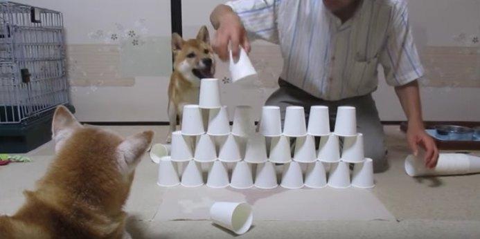紙コップでタワー作り♪ドタバタ柴犬劇場♡