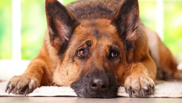 犬の恐怖症とヒトの精神疾患に共通する遺伝子領域の研究