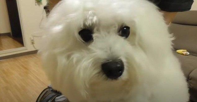 【劇的】まるで別犬!?ふわもこわんこのトリミング『ビフォーアフター』に驚き!