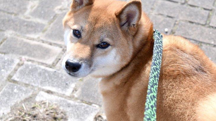 「チラッ」犬が散歩中に飼い主を振り返る理由4つ