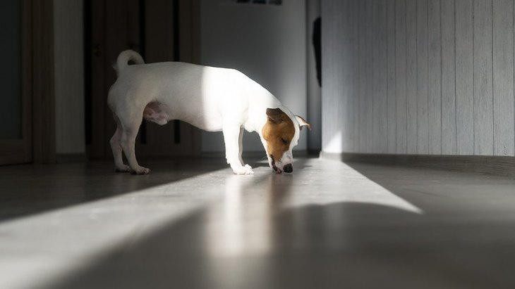 犬が『家の床を舐める』心理5選!どうんな意味があるの?悪影響はないの?
