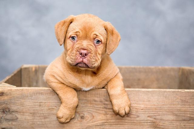 犬を飼う時は、良いブリーダーから迎えよう!