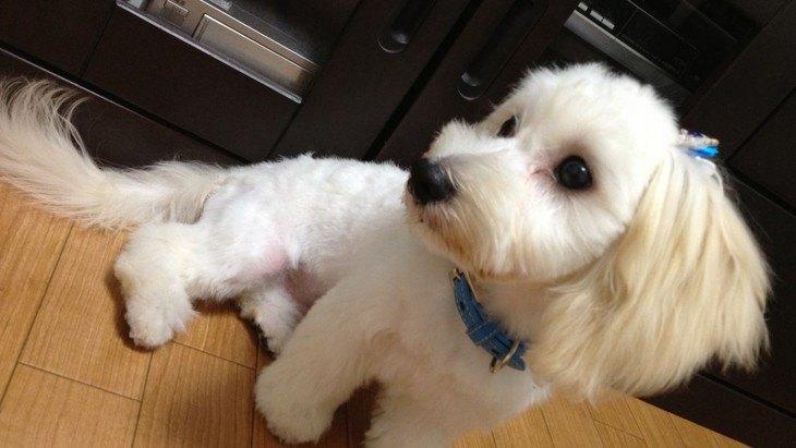 マルックスってどんな犬?特徴や性格、子犬の迎え方から値段の相場まで