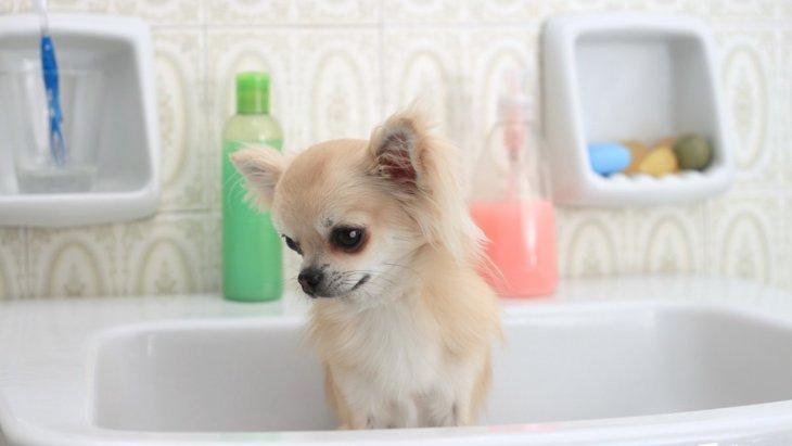 チワワのお風呂の入れ方のコツ
