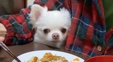 食事を見つめるチワワがたまらない可愛さで悶絶♡