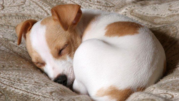 犬が体を丸めて寝る3つの理由とは?